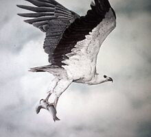 White-bellied Sea-Eagle (Haliaeetus leucogaster) 2 by Elizabeth Russell-Arnot
