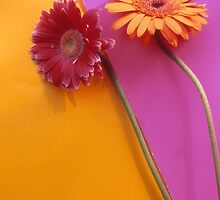 Gerbera Flowers Series by Tamarra