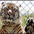 Sumatran Tiger by melodyart