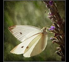 Butterfly - Cabbage Moth on Lavender  by Malcolm Heberle