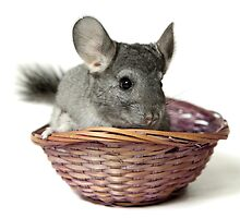 Chincilla in a straw basket  by PhotoStock-Isra
