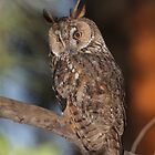 Long-eared Owl (Asio otus) in a tree by PhotoStock-Isra