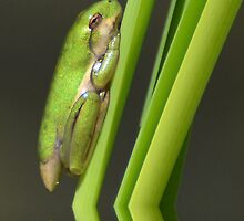 Tree Frog - New Baby by Kathy Baccari