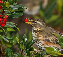 Redwing by MikeSquires