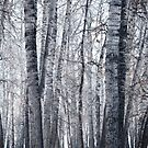 Winter Birch forest by UniSoul