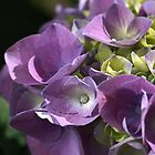 Shades of Hydrangea  by Joy Watson
