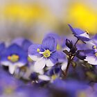 Syrian Speedwell (Veronica syriaca)  by PhotoStock-Isra
