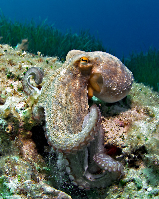 Octopus by Henry Jager