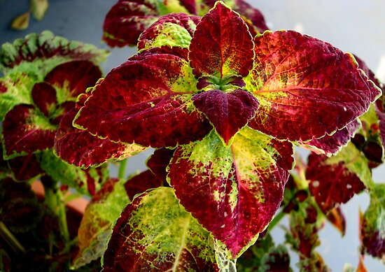 House plant - coleus by ctheworld