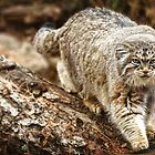 Pallas Cat in High Def by starbucksgirl26