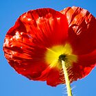 Red Poppy by ckphoto