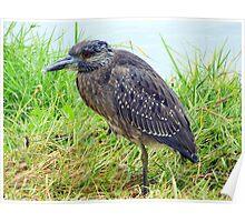 Juvenile Yellow-Crowned Night Heron Poster