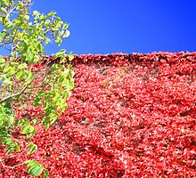 virginia creeper in autumn by geoffford