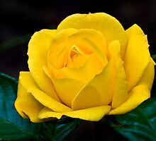 """Arthur Bell"" Rose by David Plater"