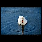 Cygnus Olor - Mute Swan In The Pine Lake  by © Sophie W. Smith