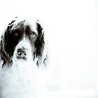 Springer Spaniel by apalmiter