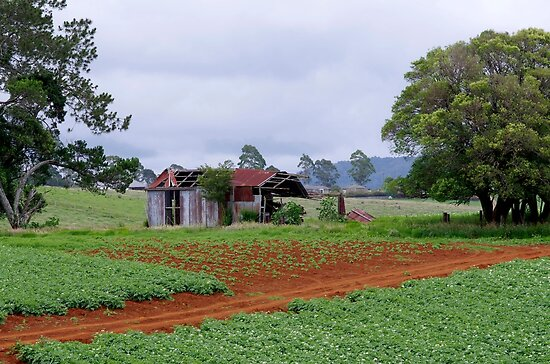 Potatoes grow well in red soil Dorrigo by Clare Colins