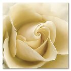 Vanilla Rose by Trevena