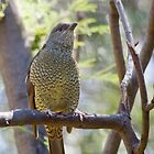Female Satin Bowerbird by Margot Kiesskalt
