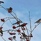 Robins in the Winter by Dallas Kempfle