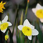 Daffodils by mississhippi