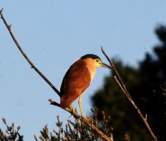 Nigh Heron, High on a branch by Kym Bradley