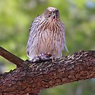 Mealtime - Coopers hawk by Jim Cumming