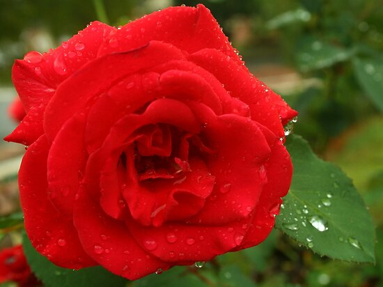 Raindrops on roses .. One of my favourite things by Michael Matthews