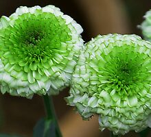 green mum flowers by johnsonmoya