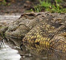 Nile crocodile by Dan MacKenzie