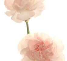 Just Pink Carnations  by Lynn Gedeon