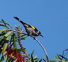 new holland honey eater by JAMES LEVETT