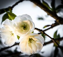 Blossom by Eliza Ticknell