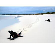 Galapagos Marine Iguana strolls down the beach Photographic Print
