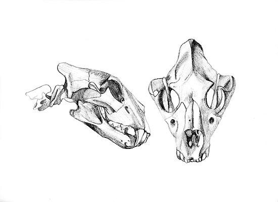 Lion skeleton anatomy anatomical studies lion