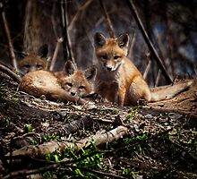 Three Cute Kit Foxes 2 by Thomas Young