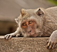 Macaques of Ulu Watu by Timo Balk