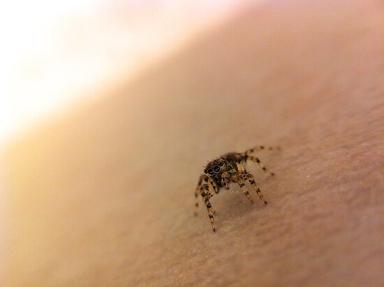 Teensy Tiny Jumping Spider by lindsycarranza