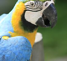 Blue and Gold Macaw by klphotographics