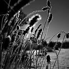 Frost Grass by Lina Ottosson