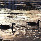 Canada Geese by bundug