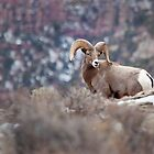 Red Canyon Ram by Kim Barton