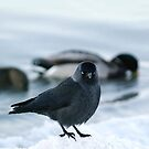 Jackdaw by Bluesrose