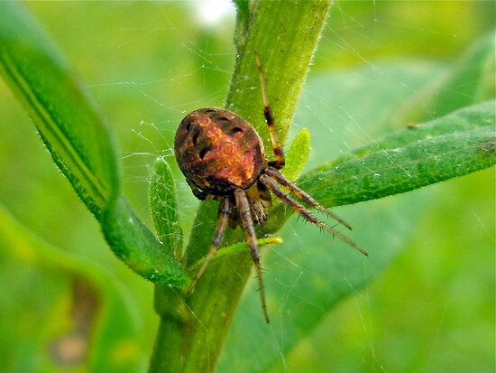 Genus Araneus Orb Weaver Spider - Brown and Orange by MotherNature