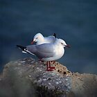 silver gulls (Yorke Peninsula) by Janine Paris