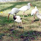 INMATURE IBIS WITH ARROW by TomBaumker