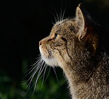 Scottish Wildcat by Emma S