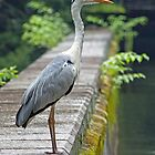 Grey Heron- Dignified by mncphotography