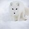  Arctic fox / Vulpes lagopus by John44