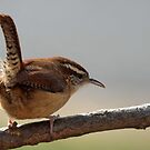 Carolina Wren by Bine